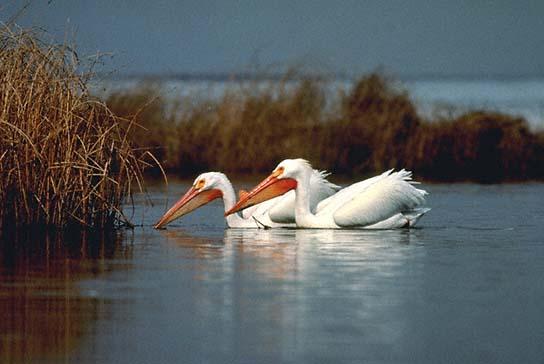 http://www.eichemiller.com/images/white-pelicans.jpg